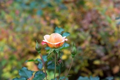 Last peach rose of summer