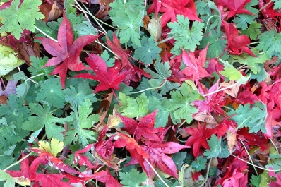 Bloodgood maple leaves
