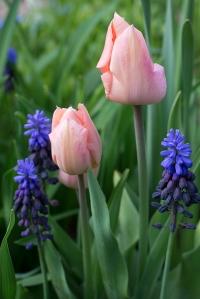 Tulip 'Apricot Beauty'