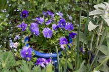 Blue pansies in a blue pot