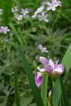 Iris versicolor 'Candy Stripe'