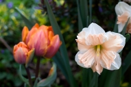 Orange tulip, pink daffodil