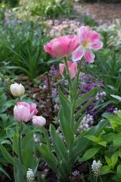 Tulip 'Angelique'