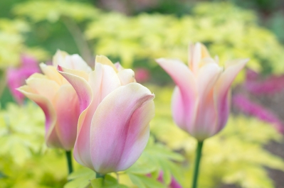 Tulip 'Blushing Beauty'