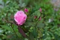 Rose 'Blushing Knock Out'