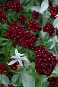 Dianthus 'Heart Attack'