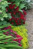 Dianthus along the path