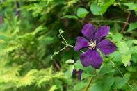 Clematis vit. 'Etoile Violette'