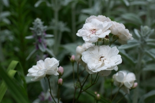 Rose 'Marie Pavie' and lamb's ear