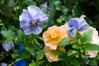 Rose and pansy in the peach and blue bed
