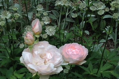 English rose 'Sharifa Asma' and white astrantia