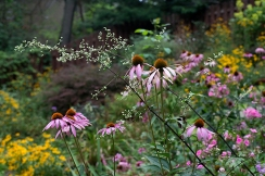 Echinacea and Artemisia