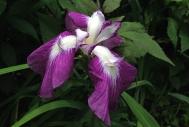Iris ensata (single)