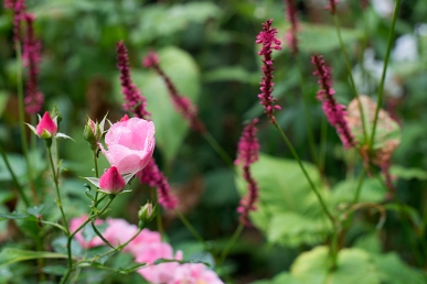 Rose and Persicaria 'Firetails'