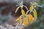 Frosted Azalea foliage