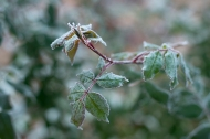 Frozen rose leaves
