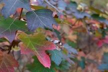 Oakleaf Hydrangea foliage