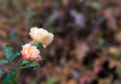 Peach rose with fall foliage