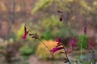 Salvia overlooking the autumn garden