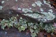 Lichen and ivy