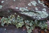 Lichen and ivy