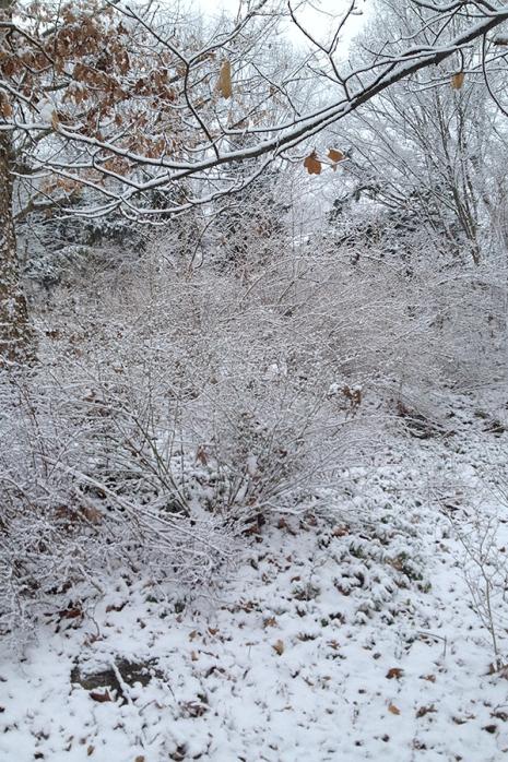 Forsythia in snow