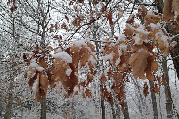 bronze oak leaves