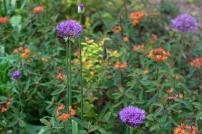 Allium 'Purple Sensation' and Euphorbia griffithii