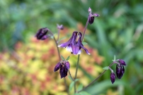 Aquilegia vulgaris 'William Guinness'