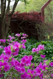 Azalea by the front gate