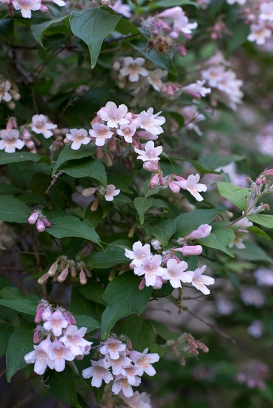Beauty bush (Kolkwitzia)