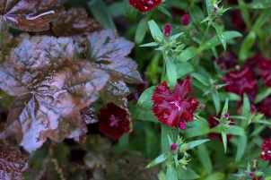 Dianthus with Heuchera 'Palace Purple'