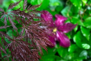 Acer japonica 'Inaba Shidare' and Clematis 'Niobe'