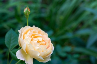 English rose 'Golden Celebration'