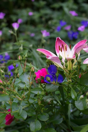 Asiatic lily 'Lollipop' with roses and Tradescantia ohioensis