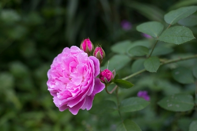 English rose 'Mary Rose'