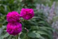 Portland rose 'Rose de Rescht''