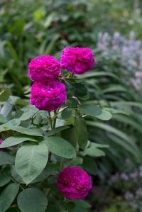 rosedereschtvert