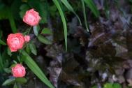 Polyantha rose 'Margo Koster'
