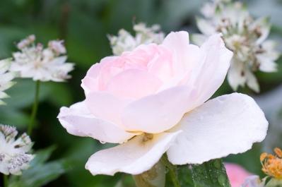 English rose 'Sharifa Asma''
