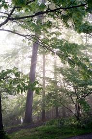 talltreesfog