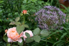 English rose 'Tamora' & Allium christophii