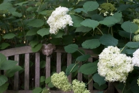 Hydrangea arborescens 'Annabelle''