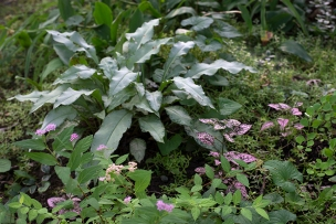 Pulmonaria and Polka-dot plant (Hypoestes)