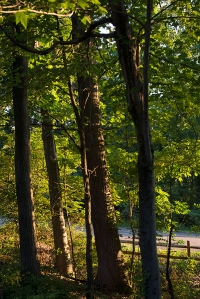 treesmorningWP