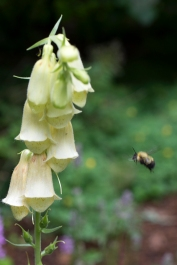 Bee headed for Digitalis lutea