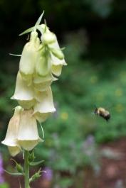 Bee headed for Digitalis lutea