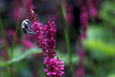 Bee on Persicaria 'Firetail'