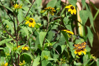 Silvery checkerspot butterfly on Rudbeckia triloba