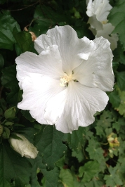 Rose of Sharon 'Diane'